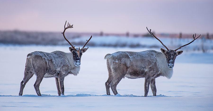 Caribous James Bay Kanada