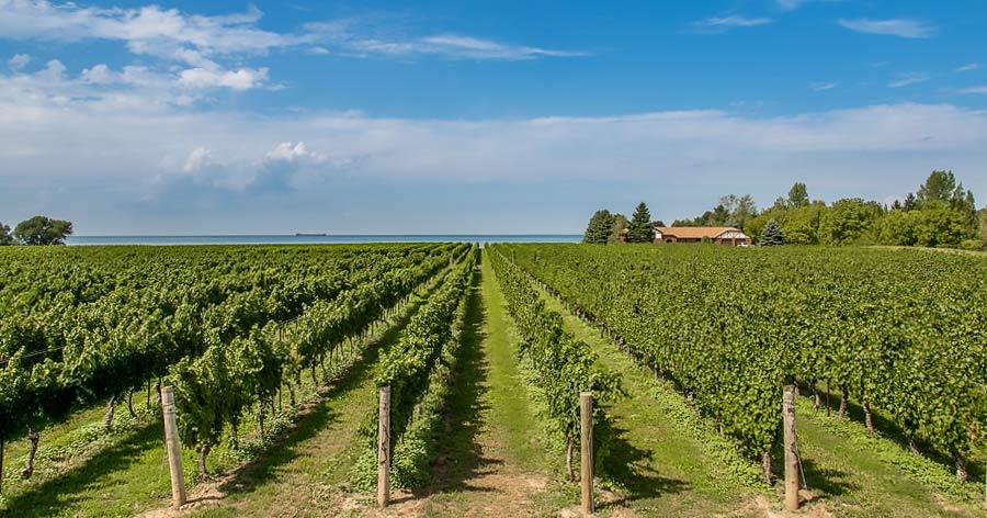 Niagara Vineyard Ontario Canada
