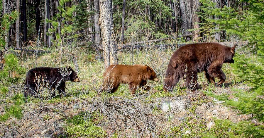 Fruehling Black Bears Rocky Mountains Kanada