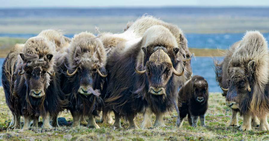 Musk Ox, Northwest Territories